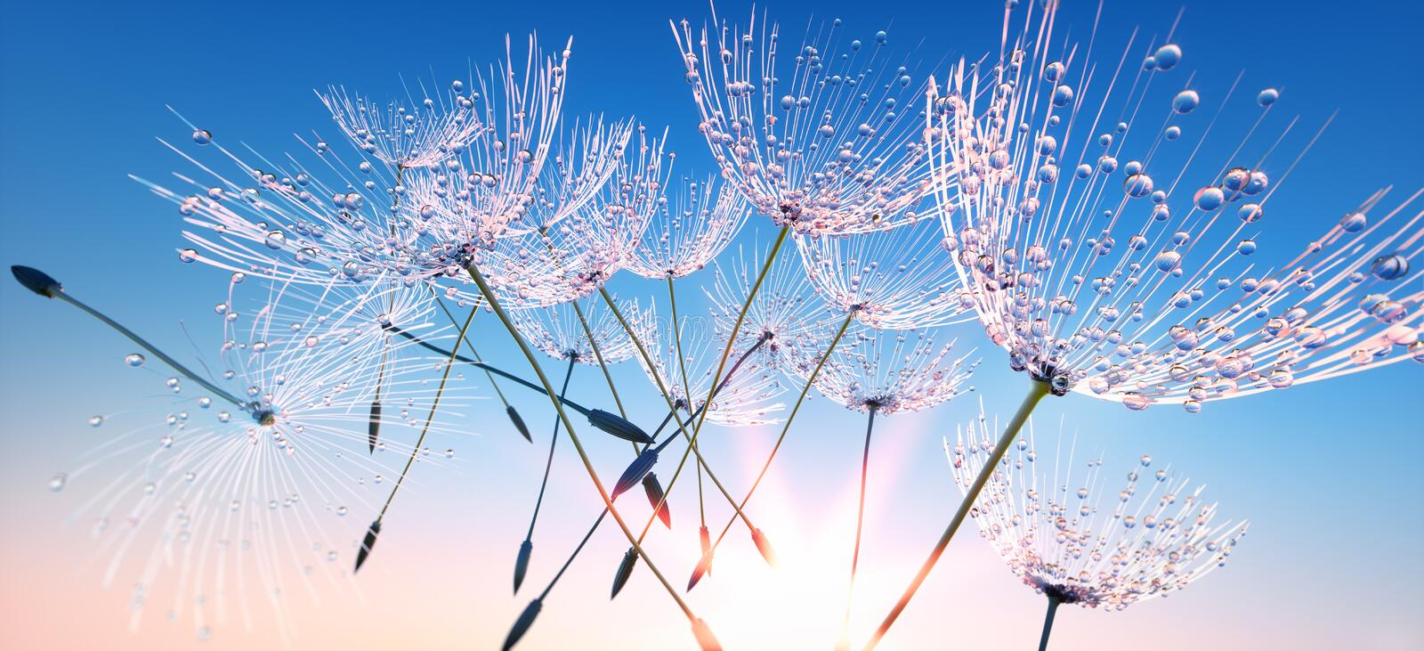 Some dandelion seeds with dew drops flying away. Some dandelion seed with dew drops in the air in the evenings against a clear blue sky royalty free stock photo
