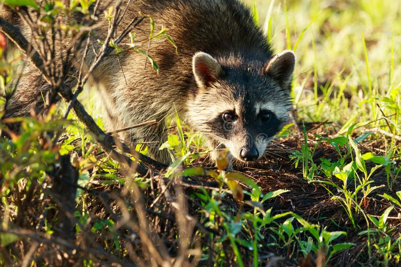Curiosity. On some days you get lucky and the animals just come to you!! We was walking through Bald Knob Wildlife Refuge and along came a family of raccoons royalty free stock photo