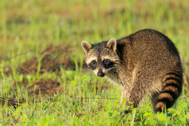 Curiosity. On some days you get lucky and the animals just come to you!! We was walking through Bald Knob Wildlife Refuge and along came a family of raccoons stock photos