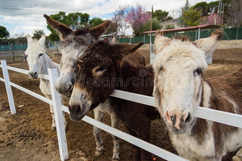 Some donkeys waiting for food and one of them requesting it to me. Please give a carrot, I love them royalty free stock images
