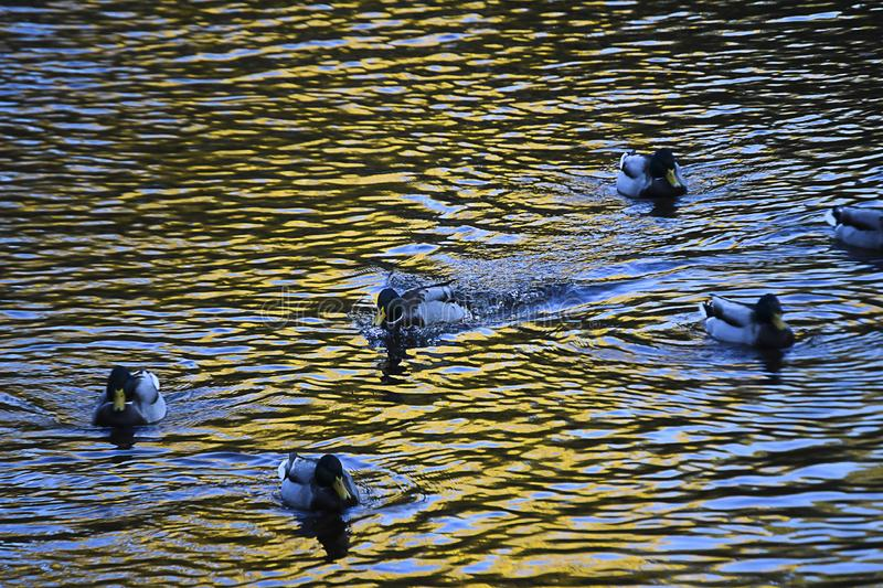 Some ducks swimming in the river. royalty free stock photo