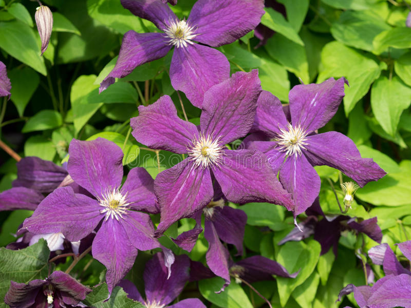 Some flowers. Clematis viticella. Violet colored, shades. Sunny summer day lighting royalty free stock photo