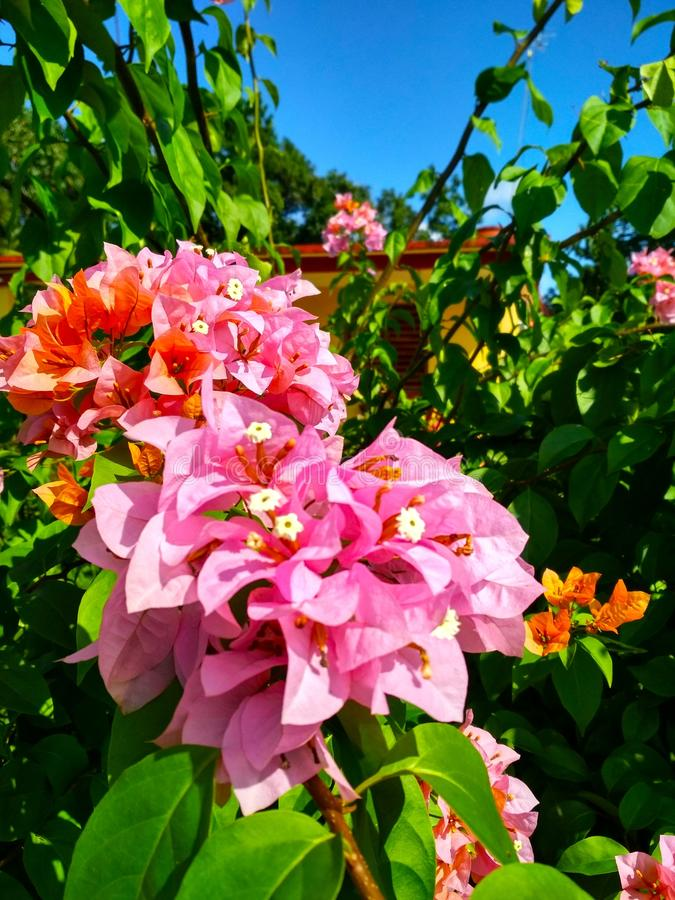 Pink flowers of Cuba royalty free stock image