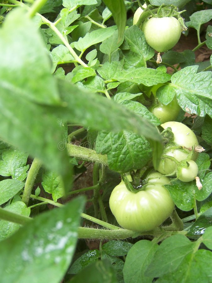 Some growing tomatoes stock image