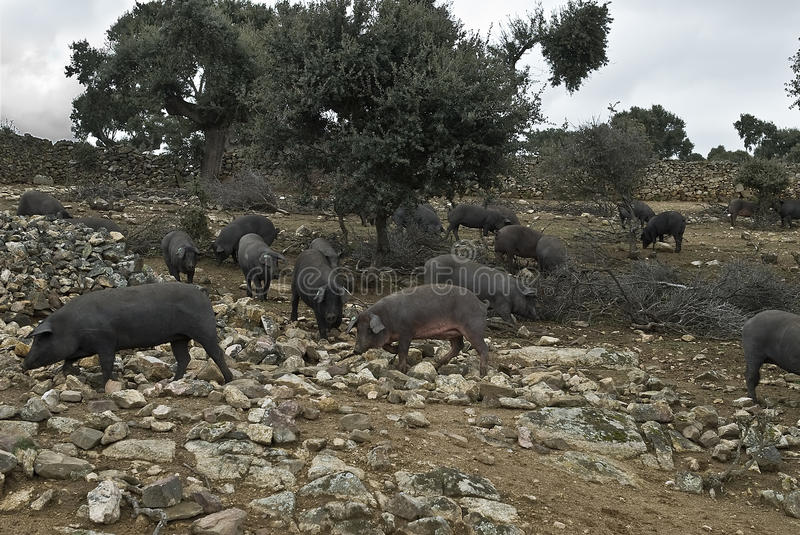 Download Some Iberian Pigs In The Pasture. Stock Photo - Image: 19895446