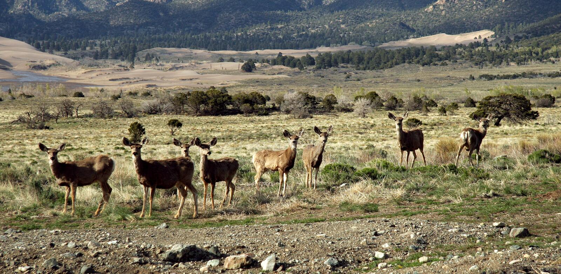 Some mule deer Odocoileus hemionus in Great Sand Dunes National Park, CO, USA stock photography