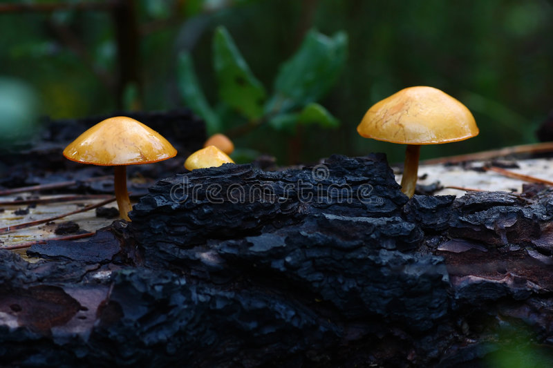 Some Mushrooms On Tree Stock Photography