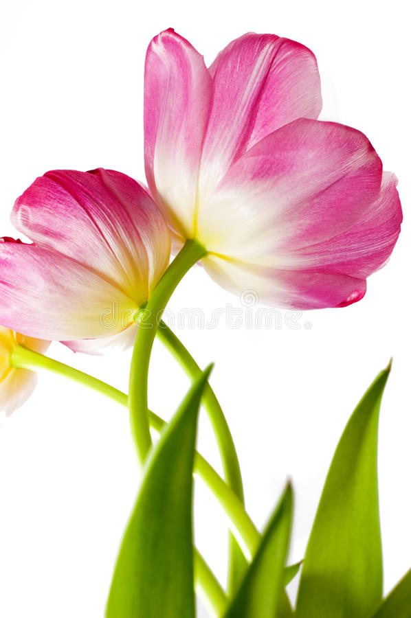Some opened pink tulips stock images