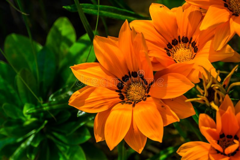 Orange treasure flowers in closeup, tropical plant specie from africa, nature background, popular ornamental garden flower stock photography
