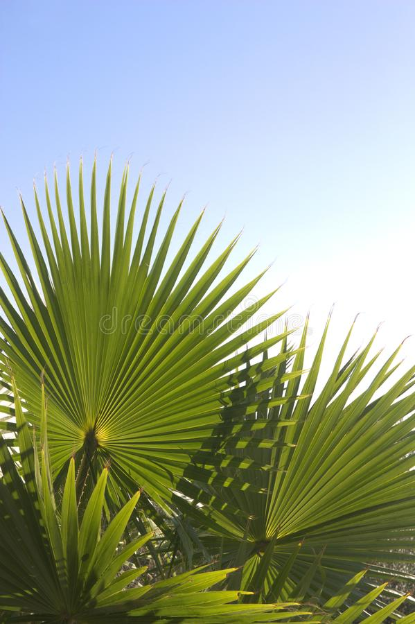 Some palmetto or margalló branches with copy space at the top royalty free stock photography
