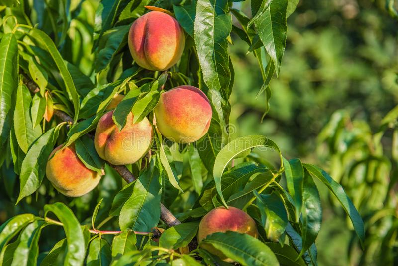 Some peaches on tree with leaves. Natural fruit. Some peaches on peach tree branches. Summer sunny fruit royalty free stock photo