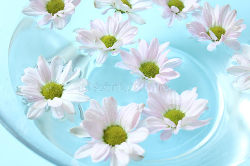 Some pink, beautiful Chrysanthemum in water stock photography