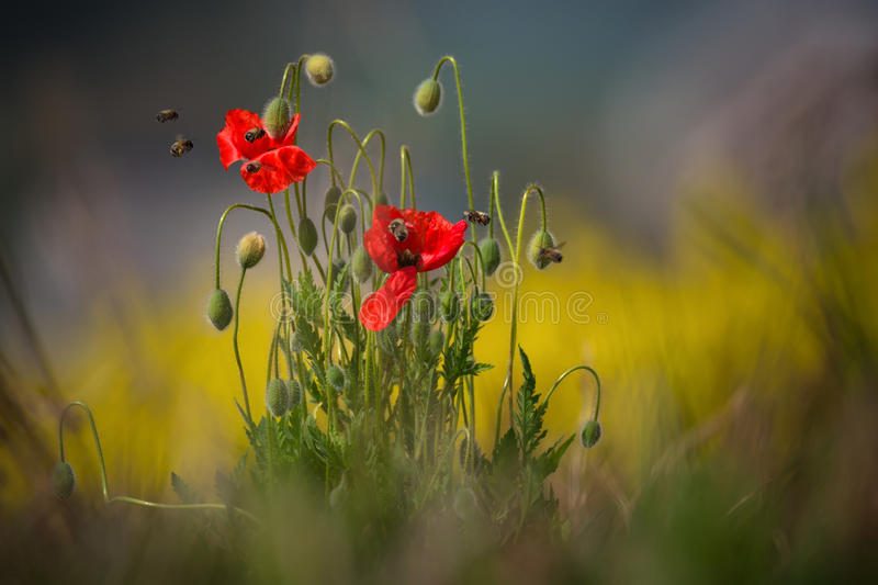 Spring Landscape With Two Wild Moravian Red Poppy And Seven Bees. Several Bees Collect Pollen.Bee Extract Nectar Close Up. Intoxic royalty free stock photo