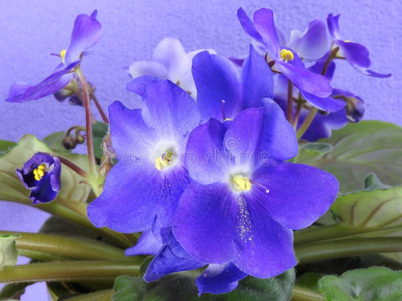 Some purple African violets with green leaves. Purple African violets Saintpaulia ionantha with green leaves. Some are blooming and some are still buds royalty free stock photos