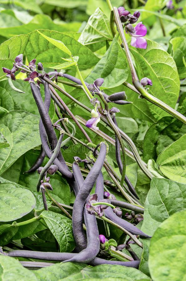Some purple beans in a vegetable garden. Purple beans in a vegetable garden stock photos