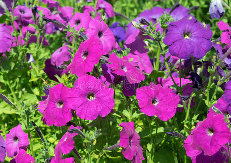 Some purple flowers petunias in focus on the flowerbed. stock photography