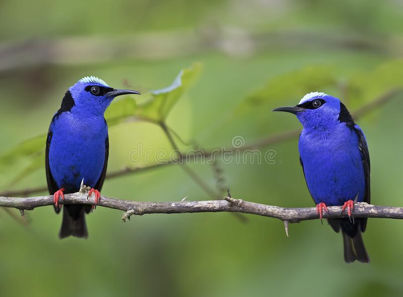 Red-legged honeycreepers Cyanerpes cyaneus Costa Rica. Some Red-legged honeycreepers Cyanerpes cyaneus Costa Rica royalty free stock photo
