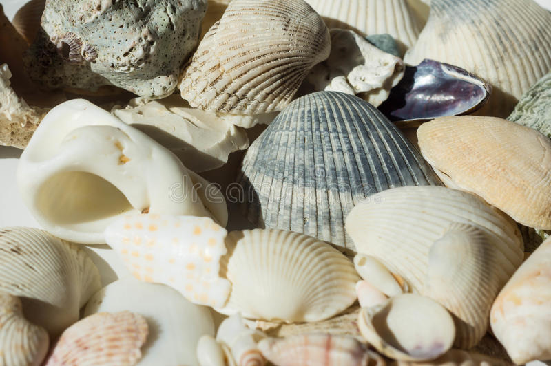 Some sea cockleshells. Close up stock photography