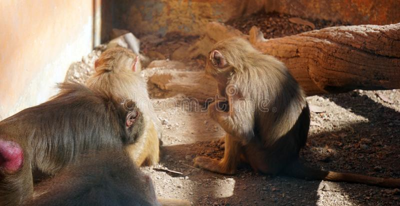 Macaque family at the zoo stock photo