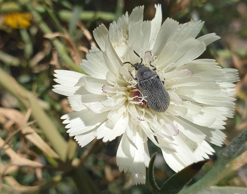 Beetle companion. Some species may find a black-and-white beetle companion to this white flower with pink hair stock photography
