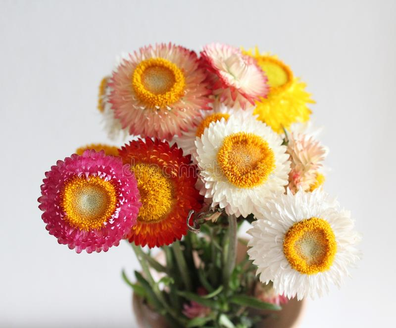 Some strawflowers royalty free stock photography