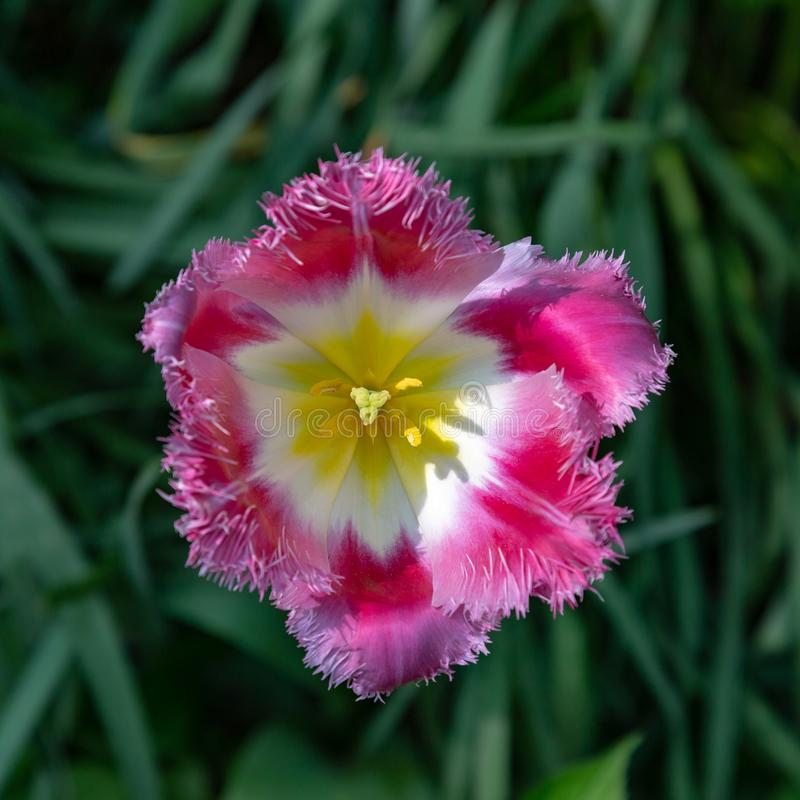 Fancy Frills tulip royalty free stock images