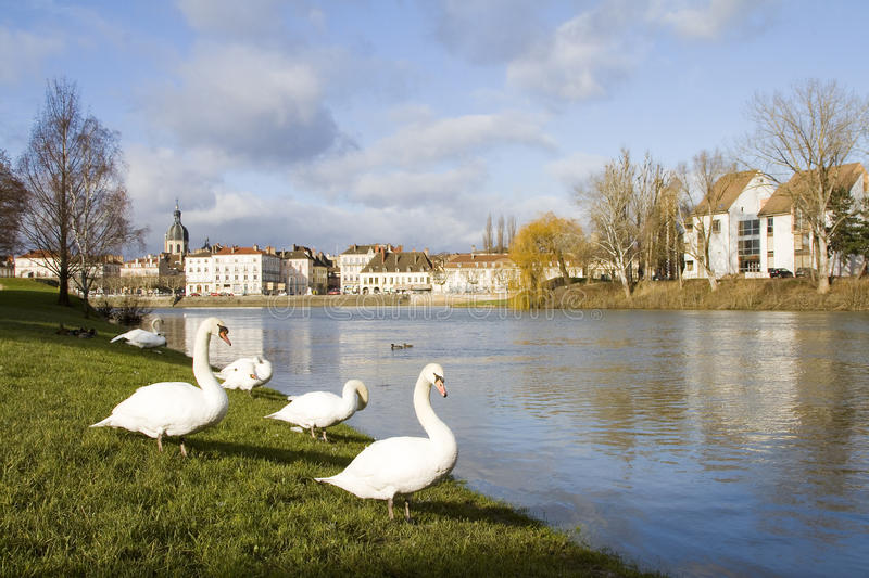 Swans in Chalon sur Saone. Some swans in Chalon sur Saone, Burgundy, France stock photos