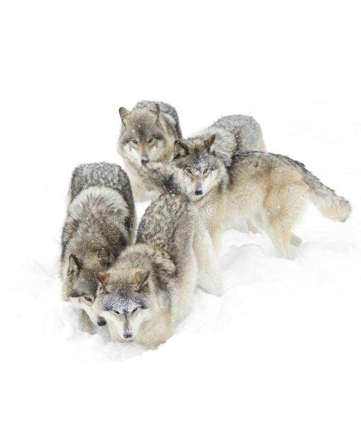Some Timber wolves Canis lupus playing in the winter snow stock photo