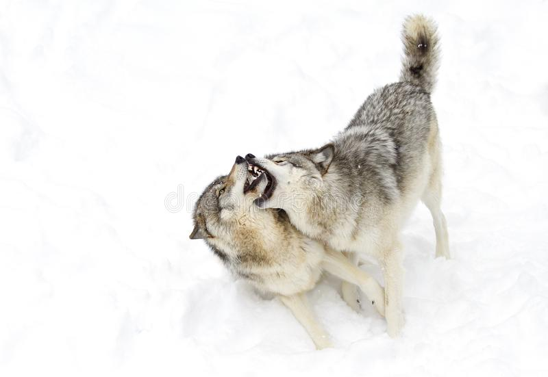 Some Timber wolves or Grey Wolves (Canis lupus) isolated on white background playing in the winter snow in Canada stock photos