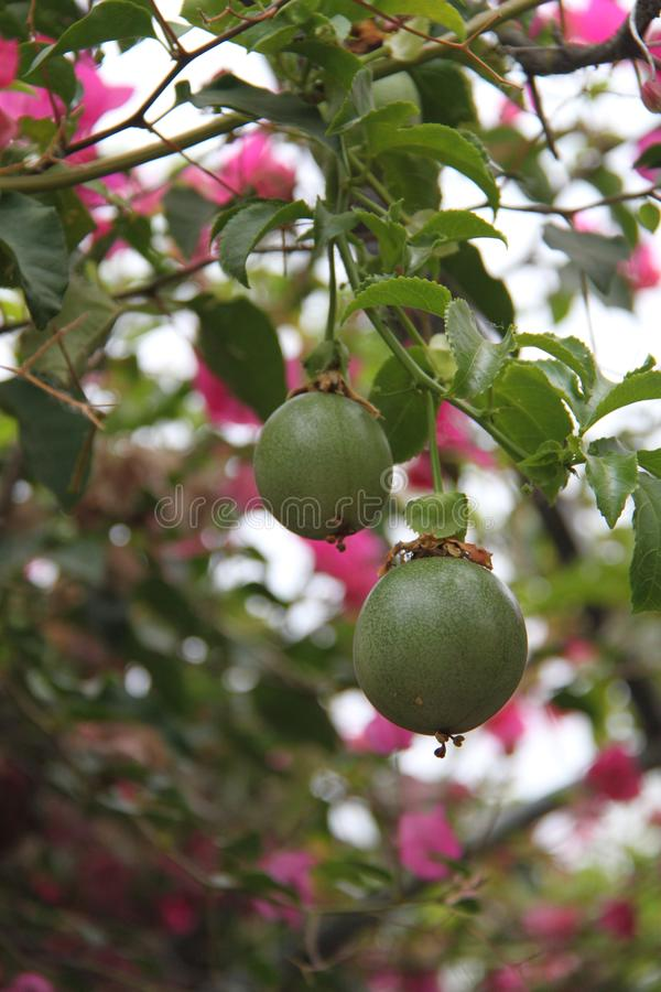 Passiflora Fruits on a Branch. Some tropical Passiflora fruits on a branch, knows as passion-fruit stock image