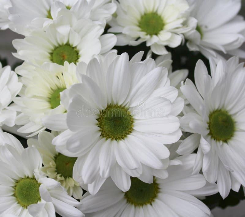 Some white Chrysanthemum royalty free stock photography