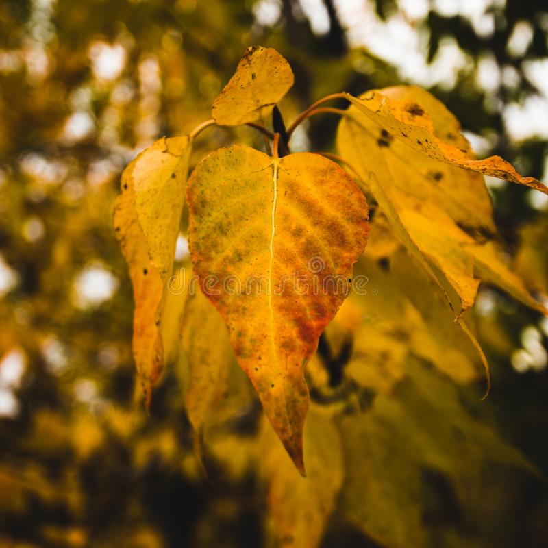 Some yellow leaves on a beautiful fall day in McCarthy Alaska stock photo