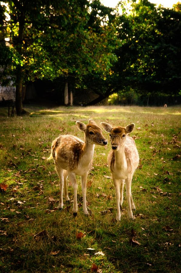 Some young fallow deer in a meadow royalty free stock image