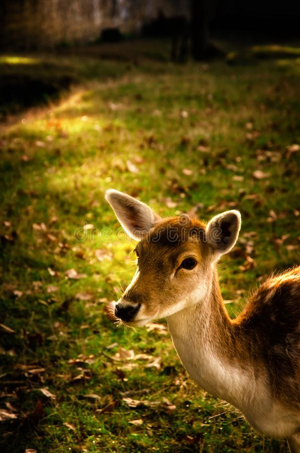 Some young fallow deer in a meadow royalty free stock images