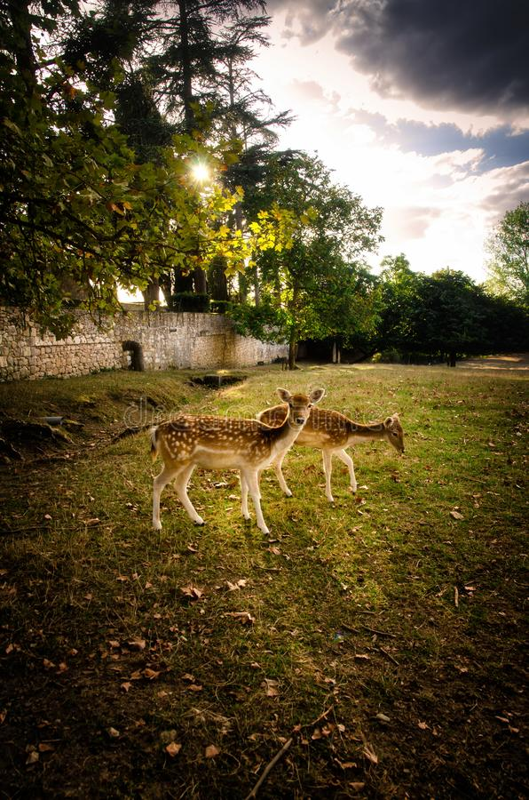 Some young fallow deer in a meadow stock image