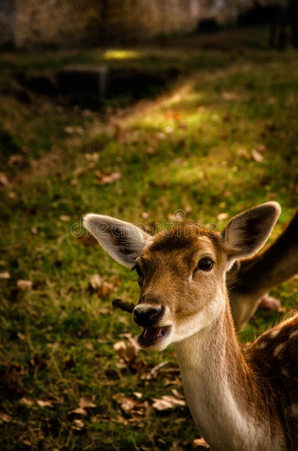Some young fallow deer in a meadow royalty free stock photos