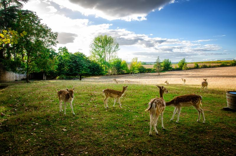 Some young fallow deer in a meadow stock photography