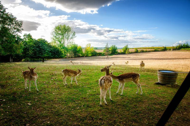 Some young fallow deer in a meadow royalty free stock photography
