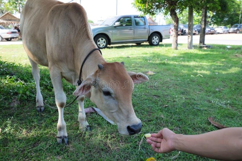 Someone karmi krowa obraz royalty free