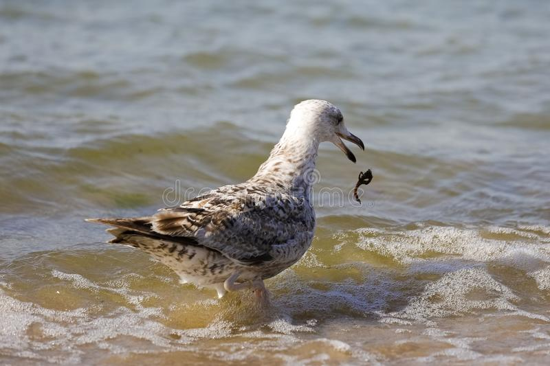 Something fell out of beak of a bird. Something fell out of the beak of the gull. It is observed on the coast of the Baltic Sea in Poland in Kolobrzeg royalty free stock images