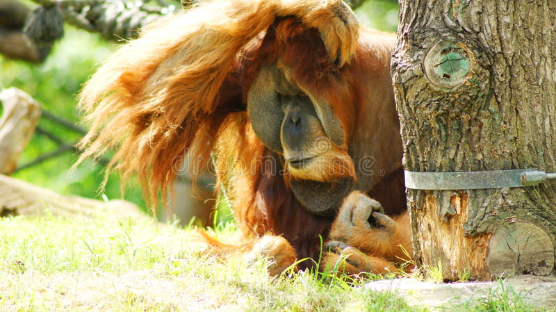 Something I forgot ......?. Orangutans Malayan `orang` `utan` - `forest man`, Latin Pongo - the genus of tree anthropoid apes, one of the most closely related to stock photo
