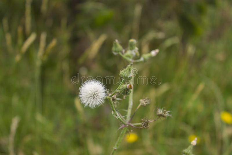 A group of white dandelion flowers growing stock photo