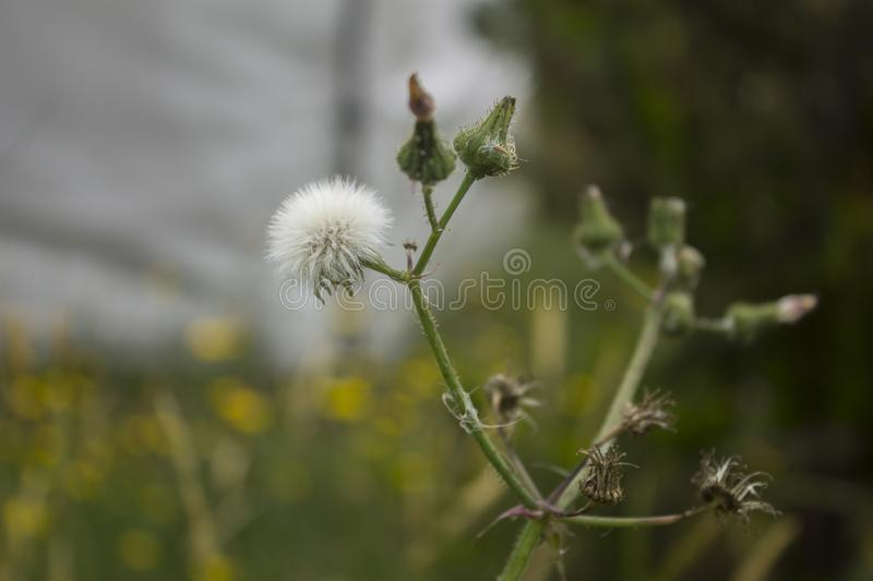 White dandelion with baby dandelions about to bloom royalty free stock image