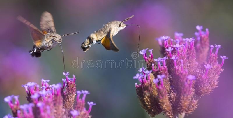 Sommaräng med röda vallmo och Hawk Moths Hummingbirds arkivbilder