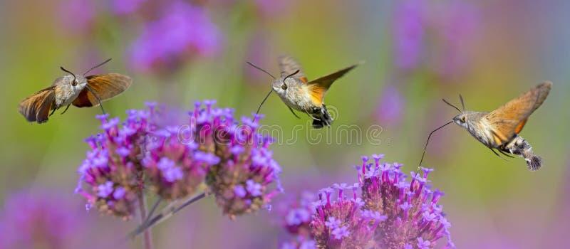 Sommaräng med röda vallmo och Hawk Moths Hummingbirds royaltyfri bild