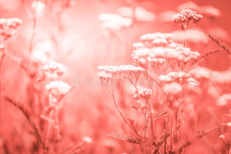 Sommaräng med vita blommor av yarrow royaltyfri fotografi