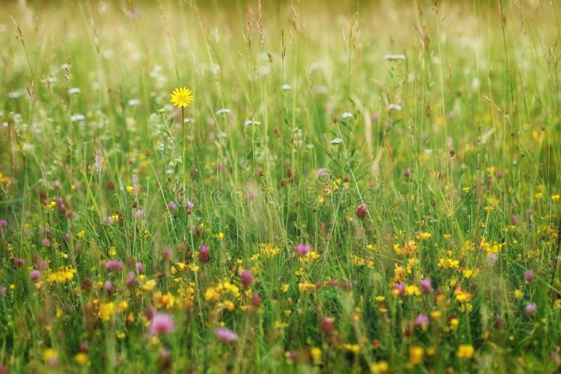 Sommaräng, naturbakgrundsbegrepp arkivbilder