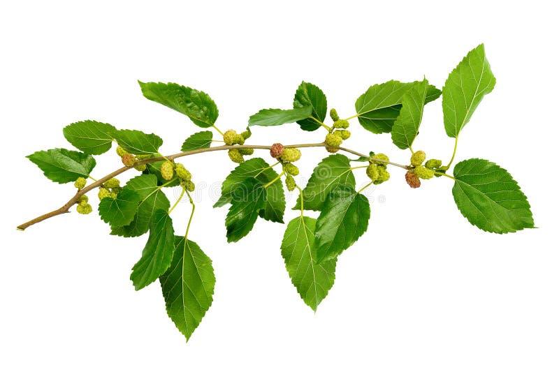 Sommar En filial av mullbärsträdet med omogna bär Natur i deta royaltyfria foton