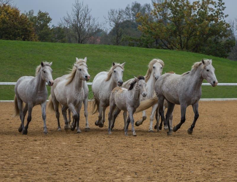 sommar för hästar för flock för fältskrubbsårgreen royaltyfri foto
