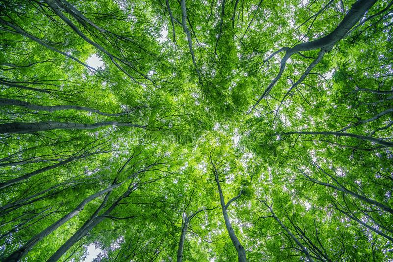 Sommar Forest Canopy arkivfoto